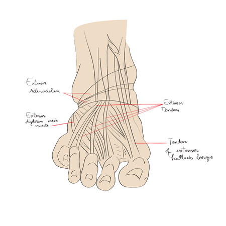 tarsal: Hand drawn illustration of the foot tendons isolated on white, artistic anatomy graphic study