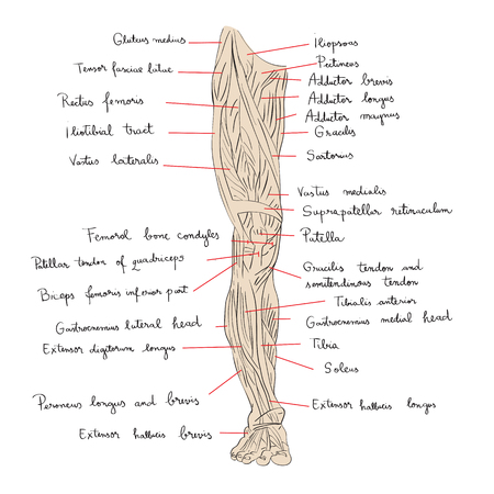 tarsal: Hand drawn illustration of the leg muscles isolated on white, artistic anatomy graphic study