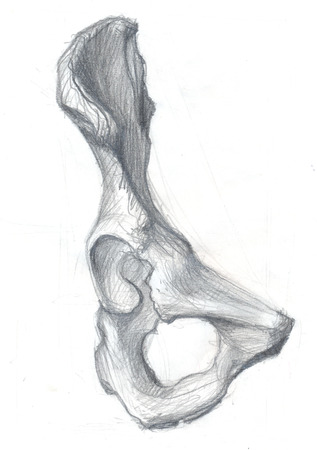 Hand drawn illustration of the hip bone, original artistic pencil sketch on obsolete paper with spots, front view