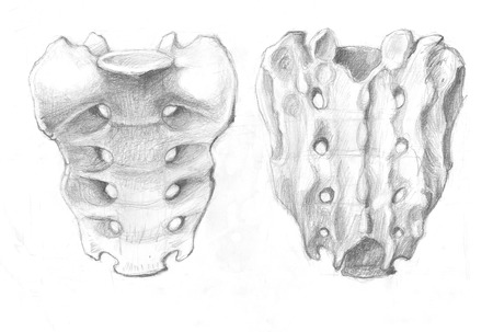 Hand drawn illustrations of a human sacrum bone, original artistic pencil sketches on paper, dorsal view and internal view Stock Photo