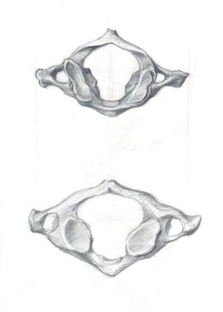 Hand drawn illustrations of atlas vertebra, original pencil drawings over paper, above and below view