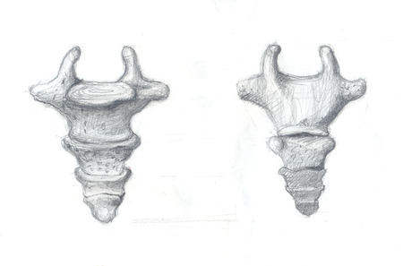 Hand drawn illustrations of coccyx vertebra, original pencil drawings over paper, lateral and dorsal view