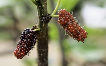 Organic fresh red mulberry with blurred nature background, blurred, soft focus
