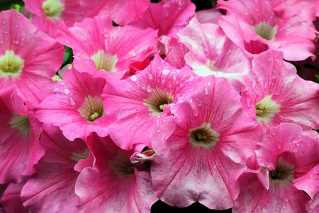 Fresh spring pink Petunia background after the rain
