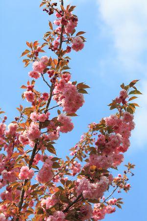 Spring time Cherry tree blossom Imagens