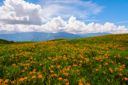 lily flowers: Daylily flowers on a hill in Taiwan Stock Photo