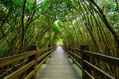 hiking path: Mangrove forest with wood Walk way Stock Photo