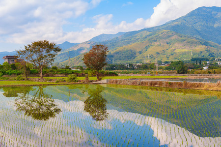 vegetate: rice seedlings vegetate in water with dramatic sky reflection