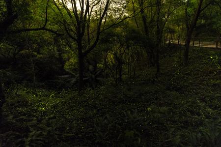 glowworm: fireflies in the forest of Taichung, Taiwan
