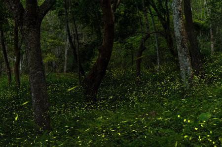 台湾・台中の森のホタル