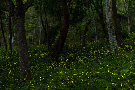 fireflies in the forest of Taichung, Taiwan