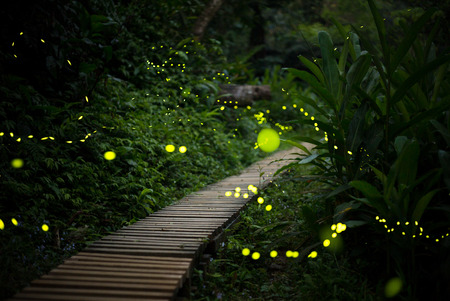 fireflies in the bush at night in taiwan Stock Photo