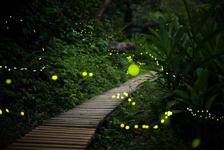 glowworm: fireflies in the bush at night in taiwan Stock Photo