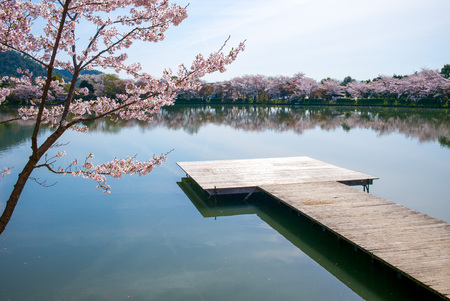 landscape of Osawa Pond with cherry blossom