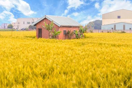 Casa de ladrillo en el campo de trigo maduro Foto de archivo