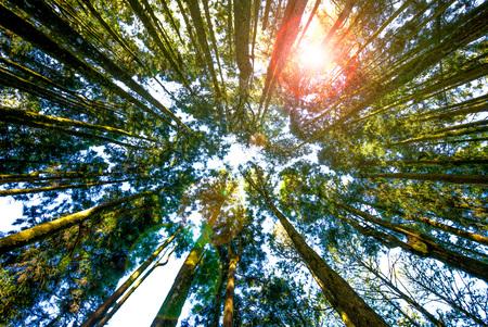 forest in alishan, chiayi