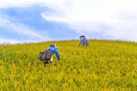 Farmer working in the daylily field in hualien, taiwan Stock Photo