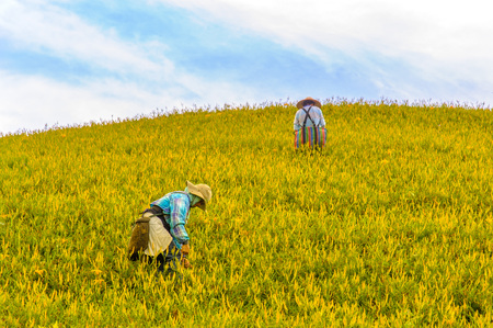 Farmer working in the daylily field in hualien, taiwan Editorial