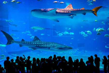 Kuroshio Sea main tank in Okinawa Churaumi Aquarium