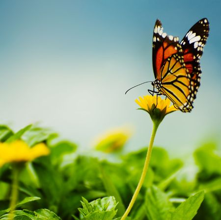 insect on leaf: butterfly on yellow flower