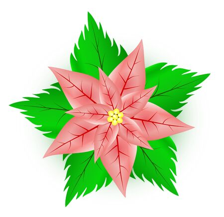 Illustration of a  poinsettia flower which is used in Christmas decoration