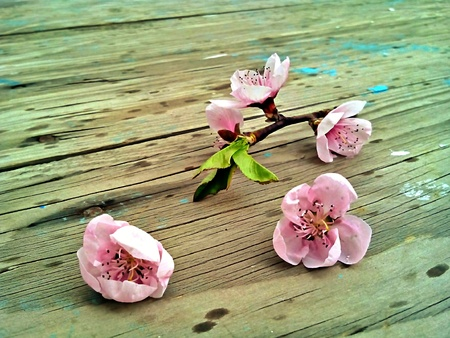 Pink Cherry blossoms on a wood planks