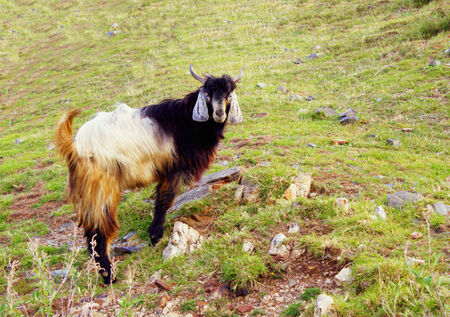 Himalayan goat grazing on the hill slopes, looking right into the camera lens