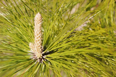 Core of a pine tree with the cone or bud developing amidst the green pine needles. Ideal for use in flora or natural beauty concepts. photo