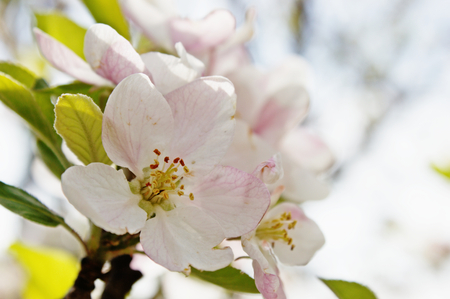 A close up image of peach blossom white flowers, seen during spring time. Ideal for nature and spring time concepts.