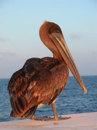 Brown pelican Standard-Bild