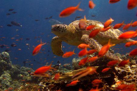 Turtle swimming behind orange fish
