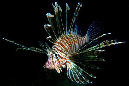 Common Lionfish on black background