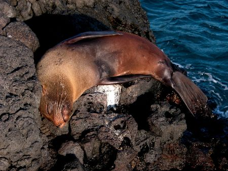 Passed out: Seal sleeping on a rock