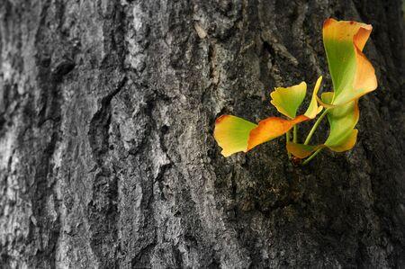 ethnobotany: Autumn Ginkgo Biloba leaves  Stock Photo