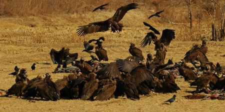 the fittest: Vultures feeding on dead pigs