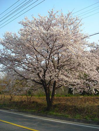 Cherry Blossom Tree in South Korea photo