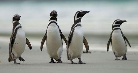 Four Magellanic Penguins