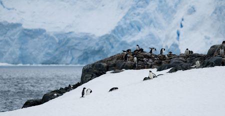 penguin colony: Gentoo penguin colony in Neko Bay - Antarctica