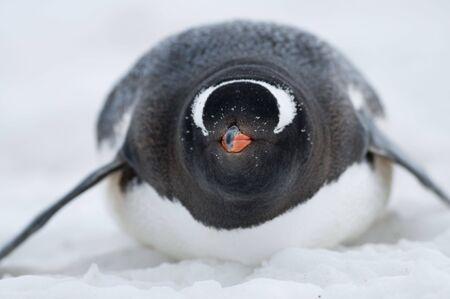 gentoo: Gentoo penguin on belly in the snow