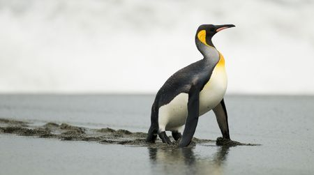 King Penguin on all fours photo