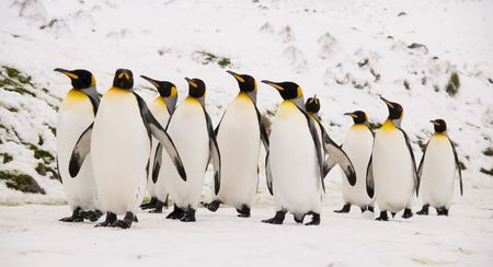marching: King Penguins marching together