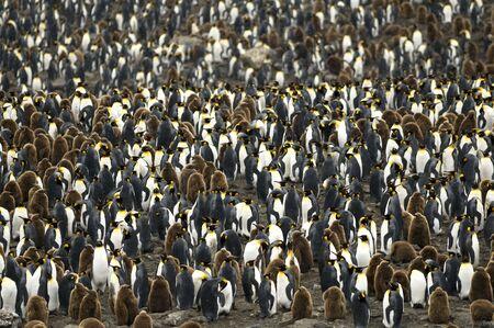 Huge King Penguin colony - South Georgia