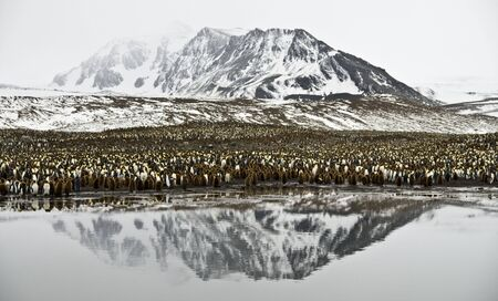 King Penguin colony with mountain reflection photo