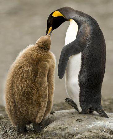 animal breeding: King penguin feeding chick Stock Photo