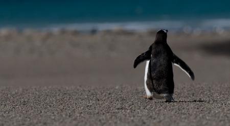 Back of walking penguin