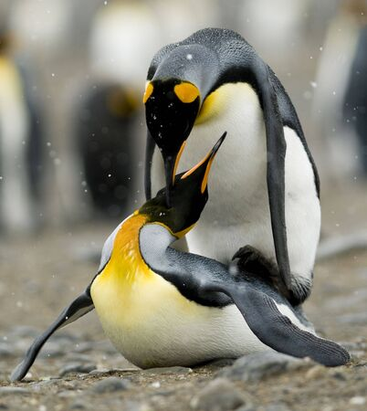 King penguins mating in the snow Stock Photo