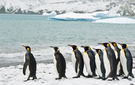 antarctic: King penguins in icy bay Stock Photo