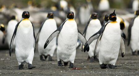 Pingüinos rey caminar juntos