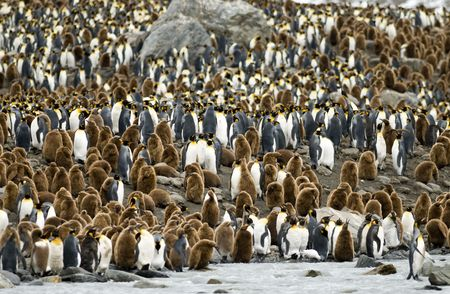 zoomed: King Penguin colony at South Georgia Stock Photo