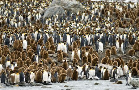 pinguinera: Ping�inos rey en la colonia de Georgia del Sur Foto de archivo